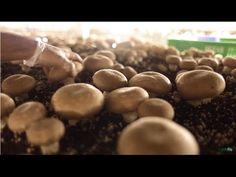 Twitter @juangangel Programa: Setas, producción de champiñón. El champiñón es una especie de hongo basidiomiceto de la familia Agaricales nativo de Europa y ...
