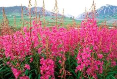 fireweed -beautiful when in bloom in mass quantities along highways and byways