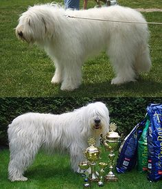 South Russian Ovcharka ( very rare) I see this breed walk around my town sometimes. finally figured it out. I would name him something noble like, king Large Dog Breeds, Large Dogs, White Dogs, Dogs Of The World, All Dogs, Foxes, Pictures, Animals, King