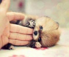 Is it a Pomeranian pup?