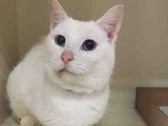 Super Urgent Manhattan - SCREECH #A1101064 - IS A 4 YR OLD GIRL WHO WAS ABANDONED - PLEASE GIVE HER A HOME! FEMALE WHITE DSH MIX, STRAY, NO HOLD Reason ABANDONED - Intake 01/05/17 Due Out 01/08/17 - ENJOYS BEING PETTED, LOST PATIENCE WITH EXAM AND GROWLED, SCRATCHED