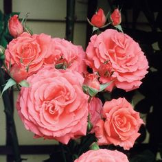 America climbing rose. a very popular climbing rose in America, that is very fragrant. Buy rose America here.