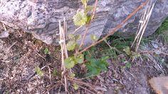 kolmesta viiniköynnöksestä 2 puskee lehtiä, ovat selvinneet nyt ainakin kahdesta talvesta.