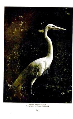 Animal - Bird - Heron - Great white heron