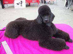 standard poodle grooming | Premier Groom 2010-mix-premier-groom-040.jpg