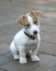 Adorable terrier pup.  Aawww