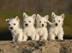Westies...WANT and will have some day!