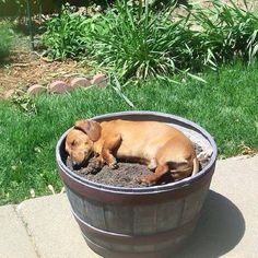 Dachshund taking a snooze in a plant barrel ♥