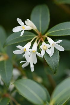Osmanthus × burkwoodii - This popular, rounded, evergreen shrub has glossy, finely toothed, dark green leaves beautifully offset by highly scented, jasmine like, white flowers in mid and late spring. In flower, it will light up a shady corner of the garden and as an evergreen, makes a lovely foil for other flowering plants and ferns.