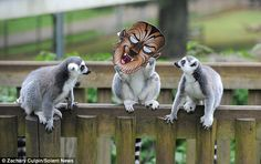 Lemurs gave each other a fright in fancy dress at Woburn Safari Park in Bedfordshire