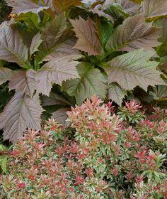 Drama in the shade; Rodgersia podophylla 'Rotlaub' and Pieris japonica 'Little Heath'.