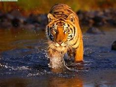 Tigers are my favorite animal on earth.  I hope that we can save them before it's too late!