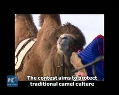 "Camel beauty pageant in north China's Inner Mongolia! Camels are judged by bodies, muscles and hooves. A ""camel king"" and a ""camel queen"" have been selected. The contest is aimed at protecting traditional camel culture and promoting tourism in Ewenki Autonomous Banner where camels are used as a means of transport in daily life for thousands of years.  Xinhua News Agency correspondents reporting from HULUN BUIR, China. (XHTV)"