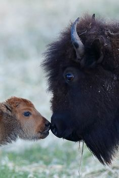 and baby painting Tenderness Buffalo Animal, Baby Buffalo, Nature Animals, Animals And Pets, Cute Baby Animals, Funny Animals, Animal Babies, Beautiful Creatures, Animals Beautiful