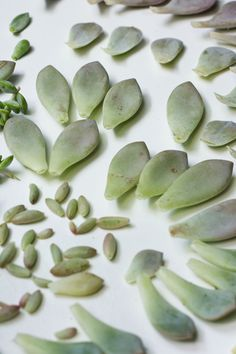 Succulents and Sunshine | Propagating Succulents from Leaves Part 2 - Succulents and Sunshine