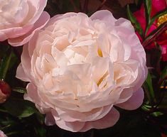 One of the finest peonies for the form of the flower alone, but it's also a reliable performer in the ...