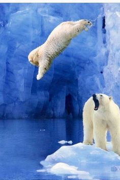 Beautiful ice bears jumping