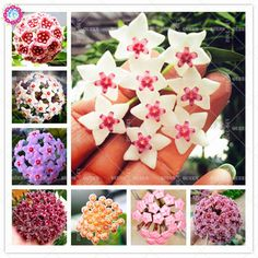 Hoya carnosa Beautiful Climbing Ball Orchid Flower Perennial Blooming Plants for Home Garden Best packaging. Category: Home & Garden. Blooming Plants, Garden Supplies, House Plants, Perennials, Climbing, Orchids, Home And Garden, Gift Wrapping, Holiday Decor