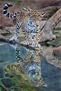 Who says you can't find company in yourself? Female jaguar Maderas' reflection glistens back at her in this shot by Ion Moe.