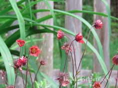 Geum Rivale, Flames of Passion One of my favorite garden flowers I've purchased.