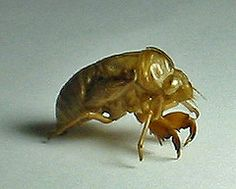 17 year cicada with people | ... The recently shed exoskeleton, or carapace, of a cicada or heat bug