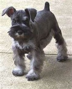 Schnauzer grooming guide - Clip the side of the head ...