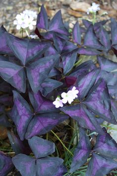 Purple and Black False Shamrock for sale buy Oxalis regnellii 'Triangularis'