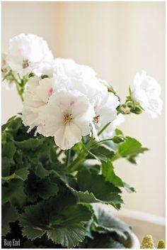 French Pelargonium / Ranskalainen pelargonia