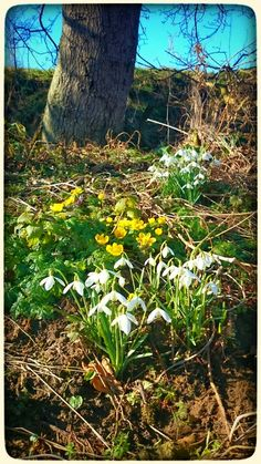 Celandines and Snowdrops...signs of Spring.