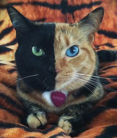 Venus the Two-Faced Cat One half is solid black with a green eye—the other half has typical orange tabby stripes and a blue eye.