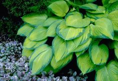 Perennial You Can't Kill: 'Gold Standard' Hosta (Hosta 'Gold Standard'). Broad oval leaves bring on the color with deep green edges skirting lighter green centers. Leaf centers fade to gold during summer. This hosta tolerates dry soil better than other hostas. Combines well with astilbe, sweet woodruff and ferns. Hardy in Zones 3 to 9.