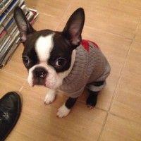 [Slideshow] Meet Oskar The Sweet Boston Puppy From Slovakia