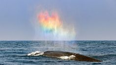 http://www.whitewolfpack.com/2018/03/blue-whale-appears-to-blow-rainbow-heart.html