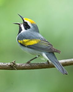song birds | Scientists studying how songbirds stay on key have... • Bird Cams