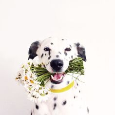 Dalmatian dog collar white
