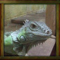Beautiful & intelligent iguana i used to have one called Sally she was amazing
