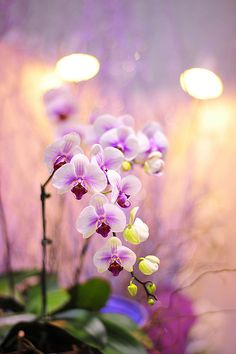 Candlelight Orchids
