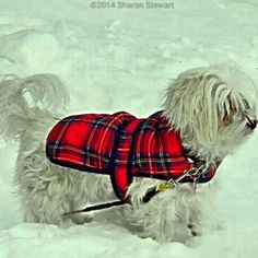 My Sophie (Maltese) Maltese, Boots, Winter, Photography, Beauty, Crotch Boots, Winter Time, Photograph, Heeled Boots