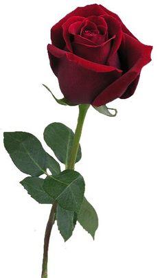 Resultado de imagen de láminas de decoupage roses png #hybridtearosesred