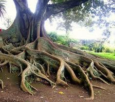 TREES OF SAO MIGUEL AZORES -   Travel to Azores Islands in Portugal to enjoy azores beautiful nature.  --  Have a look at http://www.travelerguides.net