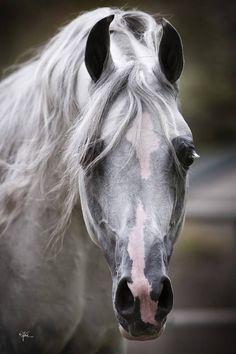 photos arabian horses | Arabian Horses