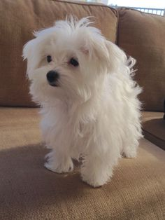 Maltese - Coconut at 5 months #DogRazas