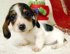 Precious piebald #doxie puppy