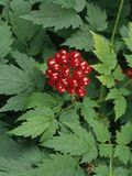 Red Baneberry Woodland Plants, Woodland Flowers, Woodland Garden, Deer Resistant Plants, Poisonous Plants, Small White Flowers, Plant Identification, Seed Bank, Shade Perennials