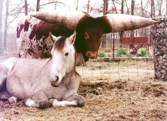 """Lurch, a Watusi bull with the largest horns in the world, with his friend, a crippled horse that he protects from harassment by other horses."""