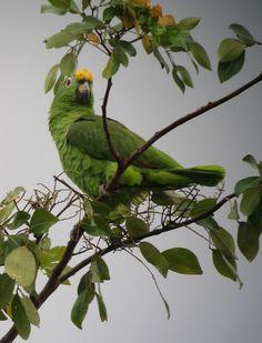 Amazona ochrocephala / Lora cabeciamarilla / Yellow-crowned Parrot | Flickr - © Félix Uribe