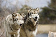 Waiting wolves by deadgunslinger.deviantart.com on @deviantART
