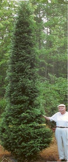 American Pillar Thuja Arborvitae - narrow, snow damage resistant.