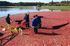#Cranberry bogs abound in Manitowish Waters in northwestern Vilas County, a four-season destination vacation. Manitowish Waters is also home to Little Bohemia, the site of infamous gangster John Dillinger's shootout with the FBI. #Wisconsin