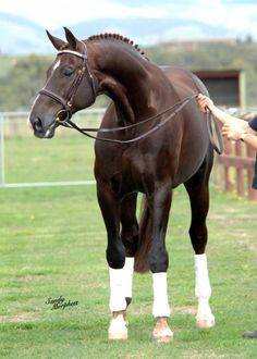 Royal Hit- gorgeous tall Stallion #horses